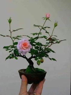 Bonsai Art, Bonsai Plants, Garden Plants, House Plants, Tree Garden, Indoor Plants, Rose Plant Care, Bonsai Styles, Rose Trees