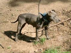 American Pit Bull Terrier de capa azulada , probablemente así seria el aspecto de uno de sus ancestros el Blue Paul Terrier, que cruzado con el Antiguo Bulldog daría origen a la raza