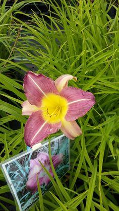 Hemerocallis Prairie Blue Eye staudengarten daum