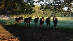 Part of the Shire gang watching me stroll through the pasture. I love the rising sun kissing the wet grass! Shire Horse, Rising Sun, Kissing, Farms, Sunrise, Horses, Animals, Homesteads, Animales