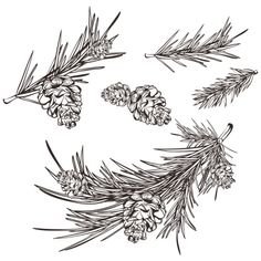 pine branch drawing   Hand drawn retro pine branches