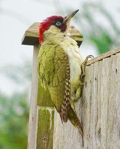 61 best green woodpecker grÜnspecht images on pinterest green
