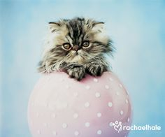 Vega (Persian) - With her playful personality, Vega knows how to have a ball.  (pic by Rachael Hale)