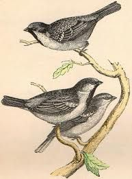 vintage bird illustrations - Google Search