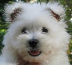 West Highland Terrier. Also known as Westie.