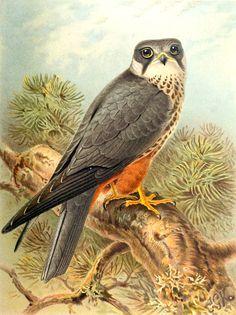 aves de las islas de Inglaterra vol,1  colección Javier Magdaleno
