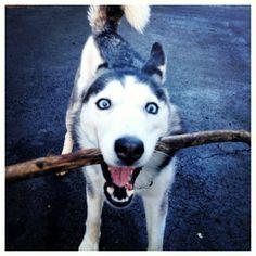 I got the Stick!! (Siberian Husky)