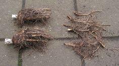 24) Witlof kweken – sjeftuintips Grapevine Wreath, Compost, Grape Vines, Wreaths, Red, Decor, Door Wreaths, Decorating, Deco Mesh Wreaths