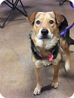 El Paso, TX - Shepherd (Unknown Type) Mix. Meet Paige, a dog for adoption. http://www.adoptapet.com/pet/16442507-el-paso-texas-shepherd-unknown-type-mix