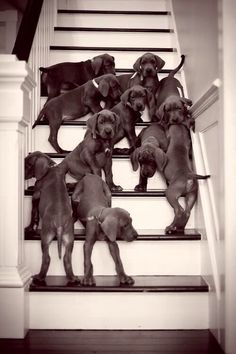 Great Dane puppies!!!! Want want want!!!!