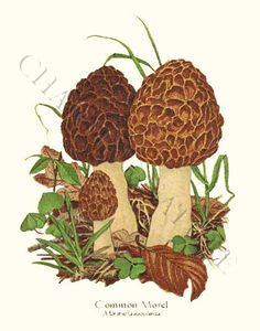 Morel mushroom art print Illustration