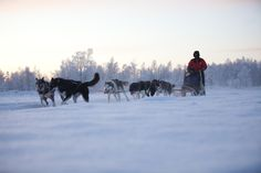 #Husky #snow #winter #huskysafari #dogsledding