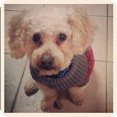 Plano, TX Yorkie, Yorkshire Terrier/Shih Tzu Mix. Meet