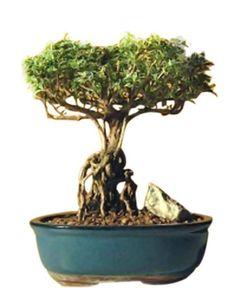 Flowering Bonsai Tree, Bonsai Trees For Sale, Bonsai Tree Types, Indoor Bonsai Tree, Outdoor Plants, Outdoor Gardens, Indoor Outdoor, Ficus, Apartment Plants