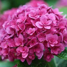 Meet Ruby Blossom Hydrangea! It has breathtaking, double dark rose-red flowers on each plant.
