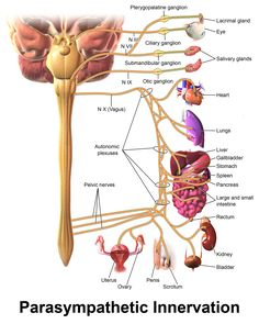 Human Anatomy and Physiology Diagrams: Parasympathetic Nervous System