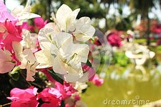 Pink and white flowers of Bougainvillea near the pond