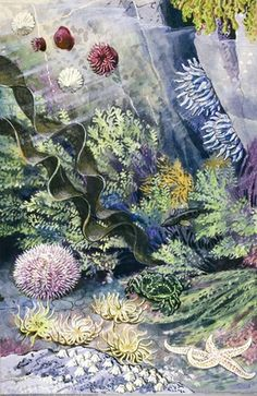 In a rockpool there are dahlia, red beadlet and snake-lock anemonies, a star-fish, a sea-urchin, limpets, a green crab, seaweed, acorn barnacles and a rock-goby Tunnicliffe