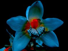 """Blue orchid - is this really this color? """"Blue"""" in flower world is usually violet.  This is BLUE"""