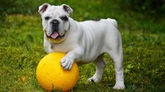 Bulldog With Ball. I really love this black and white photo of this beautiful bulldog standing on the ball. Looks almost like the picture was posed for. Most Popular Dog Breeds, Best Dog Breeds, Best Dogs, Dog Boredom, English Bulldog Puppies, English Bulldogs, American Bulldogs, British Bulldog, French Bulldog