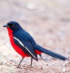 Crimson-breasted Shrike...that red chest is a real eye catcher
