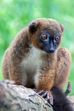 Red Bellied Lemur, another lemur from Madagascar, is listed as Vulnerable, due to habitat loss.