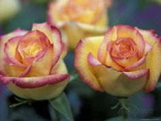 Pair of Yellow and Orange Roses Photographic Print by Adam Jones at AllPosters.com