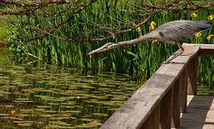 Blue Heron on watch
