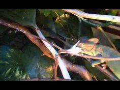 L'ecosistema: la catena alimentare. Il camaleonte e la locusta