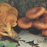 "Bolets catalans. GÍRGOLA D'OLIVERA o Matadona. ""Omphalotus olearius"". Tòxica. #bolets #setas #mushrooms"