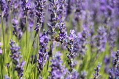 Lavender in bloom Family Travel, Lavender, Salt, Bloom, Island, Adventure, Spring, Nature, Plants