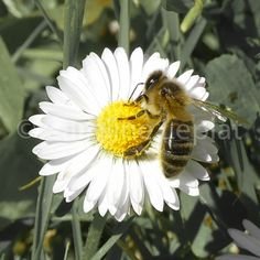 Bee on small daisy