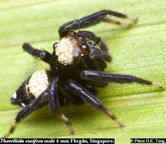 (Thorelliola ensifera) Male 4mm Singapore