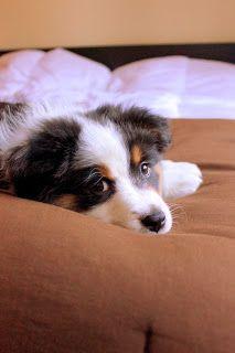 #Olive cozy on the bed at home in #Seattle. #Washington #Newlyweds #Northwest #Puppy #Aussie #AustralianShepherd