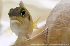 """Der Schneckenbuntbarsch-Blog: Erste Impression vom Lamprologus ocellatus """"Gold"""" ..."""