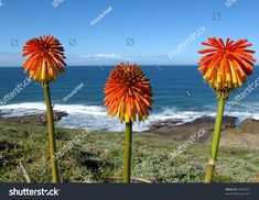 Kniphofia, also called Tritoma, Red Hot poker, Torch Lily, Knofflers or Poker Plant. Native to South Africa.