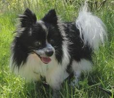 Cosmo is an adoptable Pomeranian Dog in Mentor, OH. What a good natured little guy! His outgoing personality and energy will bring you years of great companionship....