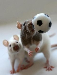 Soccer rats... I'm not a fan of soccer but these rats are super!!!