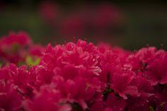 Azalea by Yuta Shimakawa on 500px