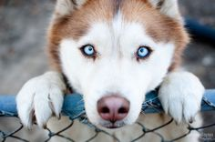 Cute Husky Puppy With Blue Eyes. Cute Dogs Wallpaper HD 27 Freetopwallpaper Com Animals And Pets, Baby Animals, Funny Animals, Cute Animals, Cute Husky Puppies, Puppy Husky, Huskies Puppies, Baby Huskies, Beautiful Dogs
