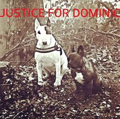 Justice For Dominic!! Jung Sabine Bull Terriers!!