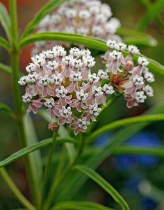 """Asclepias fascicularis """"Narrow Leaved Milkweed""""(native species Portland, for Monarch butterfly caterpillars)"""
