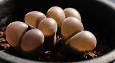 Conophytum friedrichiae by pere98, via Flickr