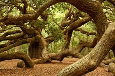 Charleston, South Carolina - A live Angel Oak tree estimated to be the oldest living organism East of the Mississippi River at 1400 years old. Trees Tumblr, Angel Oak Trees, Mississippi, Weird Trees, Johns Island, Unique Trees, Old Trees, Eye Photography, Nature Tree