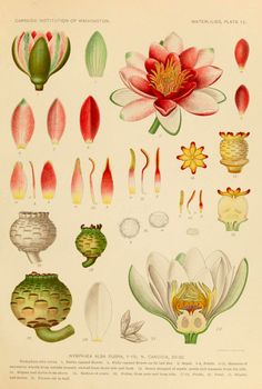 Waterlillies. Inspiration: dissect a flower, then draw the different parts. Finally, make a composition of the whole flower.