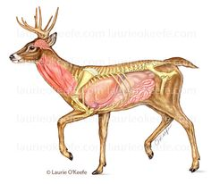 Red deer anatomy
