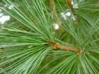 How to Select and Prepare Needles for Pine Needle Basketry