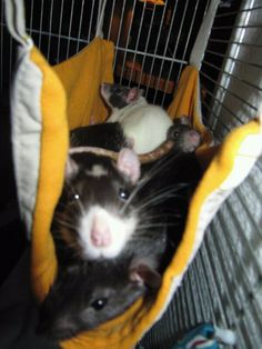 four-legged friend -- Everything you examine throughout classified ads is perfectly correct, aside from in which uncommon narrative this you happen to acquire first-hand knowledge. Rat Cage, Hamster Cages, Rodents, Hamsters, Pet Rats, Four Legged, Beast, Creatures, Kitty