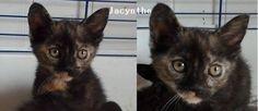 Jacynthe   Type : Chat domestique poil court Sexe : Femelle Age : Bébé Couleur : Ecaille de tortue  Taille : Petit Lieu : Vienne - 86 (Poitou-Charentes)  Refuge :  Les chats de la rue (Vienne) POITIERS Tél : 06 76 61 06 16             Jacynthe 3 mois à réserver.