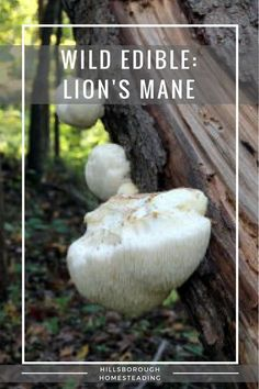 Foraging for wild edibles: Lion's mane. A white, tasty mushroom. Two different recipes.